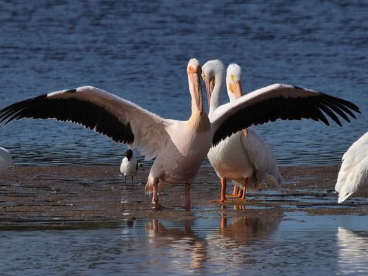 Great White Pelican 2
