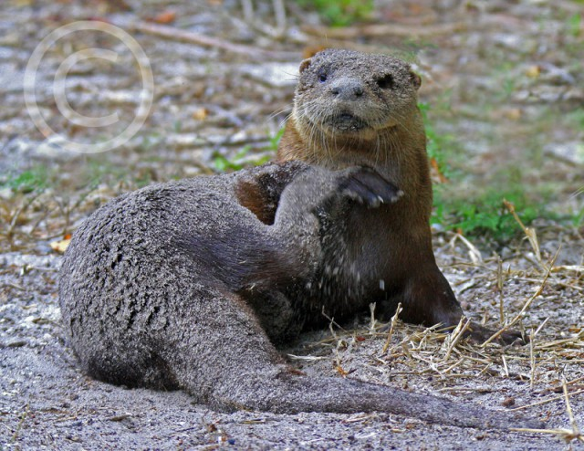 river-otter-tom-korbutt