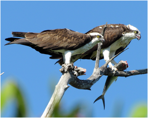 ospreys-by-nancy-malson