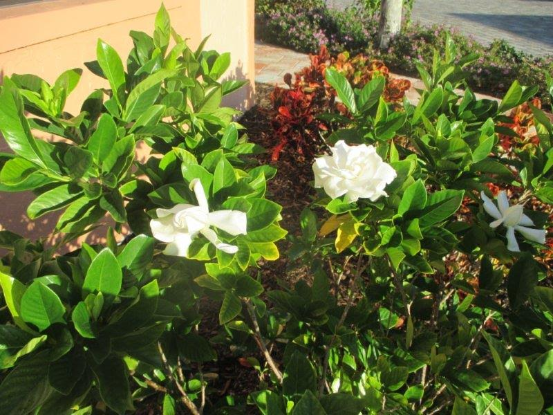The sweet smell of gardenias oceans reach condominium association beautifying the entrance of our guest services office are two beautiful white gardenia plants approaching full bloom mightylinksfo