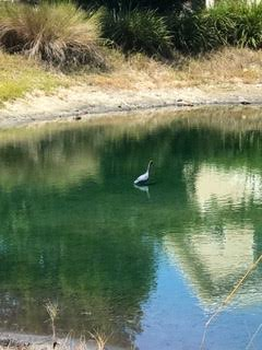 Little Blue Heron in pond